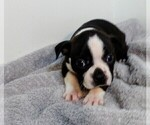 Puppy 3 Boston Terrier