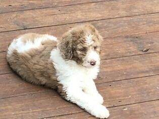 View Ad: Aussiedoodle-Poodle (Standard) Mix Puppy for Sale near