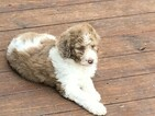 Aussiedoodle-Poodle (Standard) Mix Puppy For Sale in MARION, TX, USA