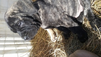 Mastiff Puppy For Sale in WAKARUSA, KS, USA