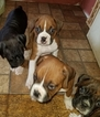 Boxer Puppy For Sale in JUSTIN, TX, USA