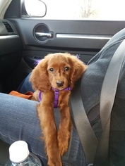 Cocker Spaniel-Poodle (Miniature) Mix Puppy for sale in EASTPOINTE, MI, USA