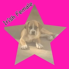 Boerboel Puppy For Sale in SAINT LOUIS, MO, USA