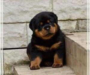 Rottweiler Puppy for sale in SOUTH BEND, IN, USA