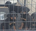 Rottweiler Puppy For Sale in FAYETTEVILLE, NC, USA