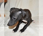 Italian Greyhound female puppies
