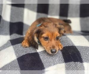 Dachshund Puppy for sale in LAKELAND, FL, USA