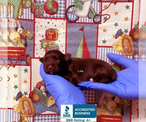 Medium Photo #1 Schnauzer (Miniature) Puppy For Sale in WINNSBORO, LA, USA