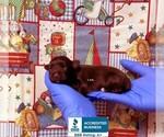 Small Photo #1 Schnauzer (Miniature) Puppy For Sale in WINNSBORO, LA, USA