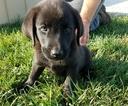 Labrador Retriever Mix Puppy For Sale in ARTHUR, IL, USA