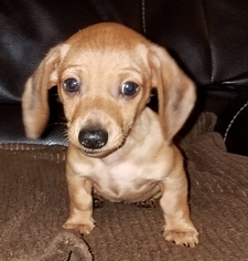 Dachshund Puppy For Sale in PARSONS, WV