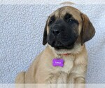 Puppy 8 Mastador-Mastiff Mix