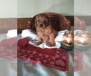 Cavapoo Puppy for sale in SHIPSHEWANA, IN, USA
