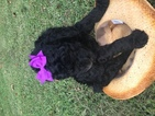Poodle (Standard) Puppy For Sale in RANDLEMAN, NC,