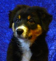 Australian Shepherd Puppy For Sale in DOUGLASVILLE, GA, USA