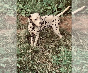 Dalmatian Puppy for sale in BEECH GROVE, IN, USA