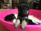 German Shepherd Dog Puppy For Sale in MEMPHIS, TN, USA