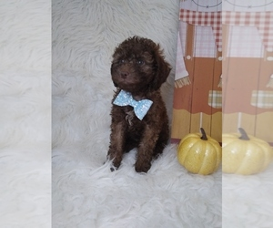Poodle (Miniature) Puppy for sale in INDIANAPOLIS, IN, USA