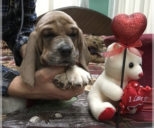 Basset Hound Puppy for Sale in ABSECON, New Jersey USA