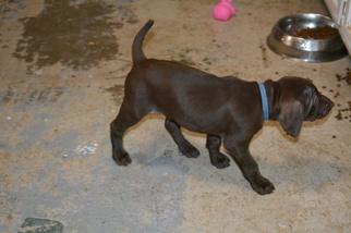 Vizsla-Weimaraner Mix Puppy For Sale in MILLBROOK, AL, USA