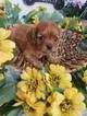 Cavalier King Charles Spaniel Puppy For Sale in FARMINGTON, Missouri,