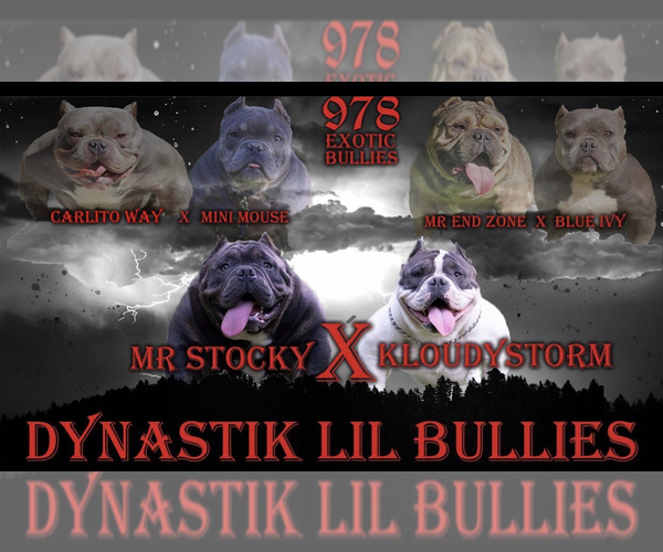 Medium Photo #9 American Bully-American Pit Bull Terrier Mix Puppy For Sale in DRACUT, MA, USA