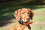 Vizsla Puppy For Sale in RURAL HALL, NC, USA