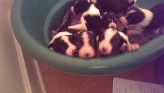 Border Collie Puppy For Sale in FISHKILL, NY