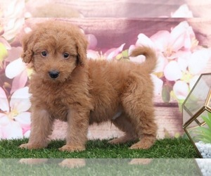 Cavapoo Puppy for sale in MARIETTA, GA, USA