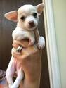 Chihuahua Puppy For Sale in HAINES CITY, FL, USA