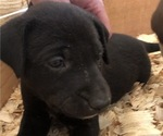 Small Photo #3 Border Collie-German Shorthaired Pointer Mix Puppy For Sale in LIMON, CO, USA