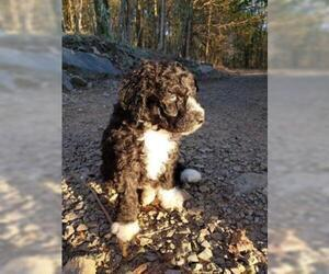 Aussiedoodle Puppy for sale in DOWELLTOWN, TN, USA
