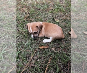 Chihuahua-Chiweenie Mix Puppy for sale in PALATKA, FL, USA