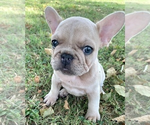 French Bulldog Puppy for sale in BAKER, FL, USA