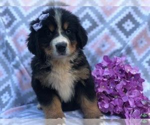 Bernese Mountain Dog Puppy for sale in CEDAR LANE, PA, USA