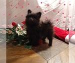 Small #4 Pomeranian