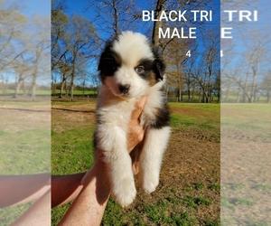 Australian Shepherd Puppy for Sale in CLARKSVILLE, Texas USA