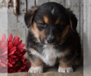 Pembroke Welsh Corgi Puppy for sale in GORDONVILLE, PA, USA