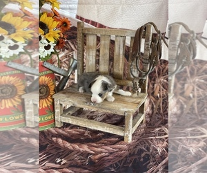 Miniature American Shepherd Puppy for Sale in EVANS, Colorado USA