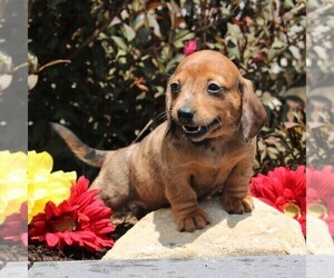 Dachshund Dog for Adoption in LEOLA, Pennsylvania USA