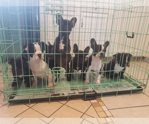 French Bulldog Puppy for Sale in DENVER, Colorado USA