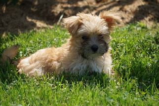 Morkie Puppy for sale in FREDERICKSBURG, OH, USA