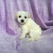Malchi Puppy For Sale in HOUSTON, TX