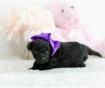 Small #5 Pomeranian-Poodle (Toy) Mix