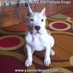 Small Photo #168 Dogo Argentino Puppy For Sale in PINEVILLE, MO, USA
