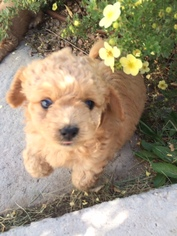 View Ad Chihuahua Poodle Toy Mix Puppy For Sale Near Colorado