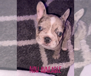 French Bulldog Puppy for sale in KENDALL, FL, USA