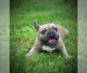 French Bulldog Puppy for sale in FISHKILL, NY, USA