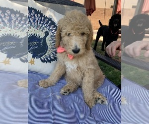 Poodle (Standard) Puppy for Sale in MESA, Arizona USA