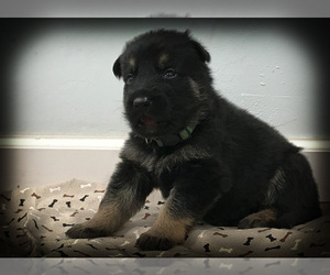 German Shepherd Dog Puppy for Sale in MADISON, Tennessee USA